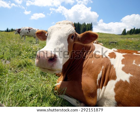 big cow snout photographed with fisheye lens in mountains