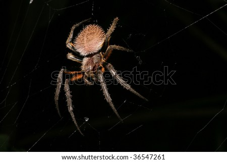 big creepy spider on his web at night in the rain forest hairy spider