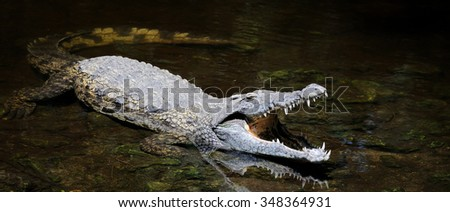 Big crocodile in water. National park of Kenya, Africa - stock photo