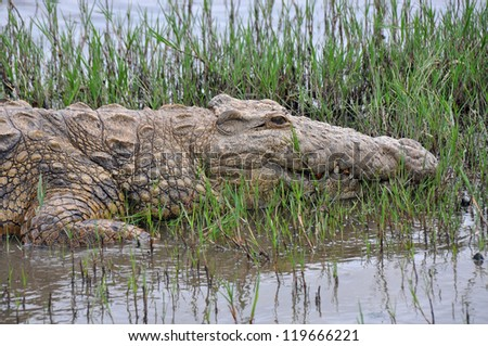 Big crocodile lying besides the water in St Lucia