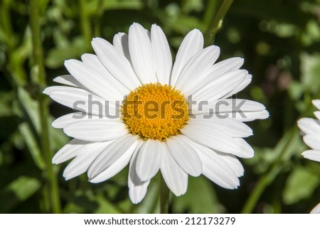 Big Daisy flower blossoming in a garden - stock photo