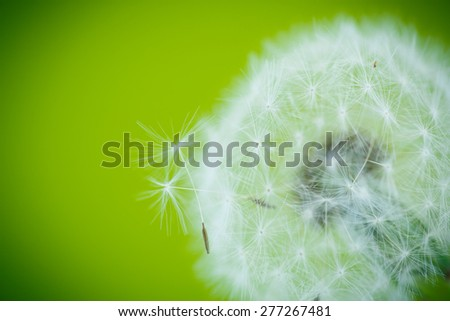 big dandelion closeup on a green background - stock photo