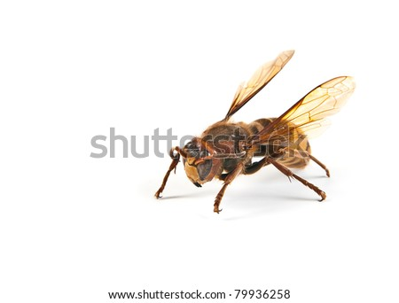 Big dangerous hornet and wasp on white background - stock photo