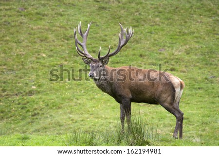 big deer from the near with antler
