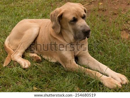 big dog - stock photo