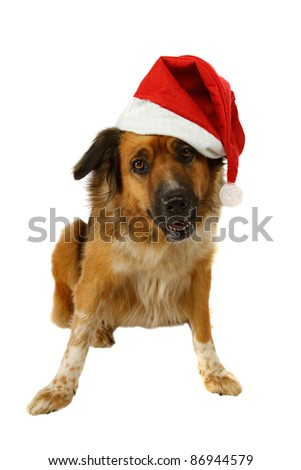 Big dog is looking for christmas on white background