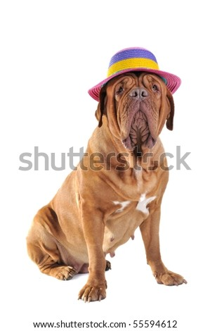 Big Dog is Sitting in a big Colorful Beach Hat - stock photo