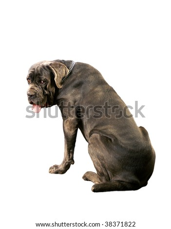 Big dog isolated on a white background