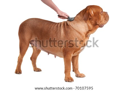 Big dog of dogue de bordeaux breed is having a pleasant comb isolated on white background