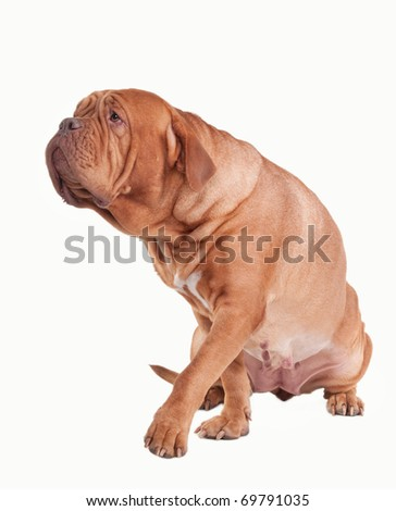 Big dog of Dogue De Bordeaux breed stepping ahead to its master isolated on white background