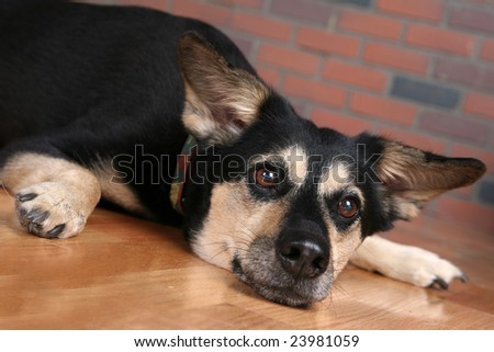 big dog on floor with paws out and looking depressed - stock photo