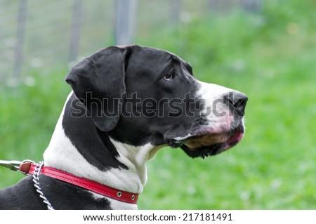 big dog portrait close up - stock photo