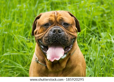 big dog sitting in grass. beautiful brown bullmastiff with open mouth and his tounge out on hot summer day. - stock photo
