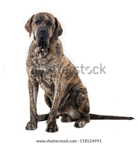 Big dog sitting isolated on white background. Brazilian fila. - stock photo