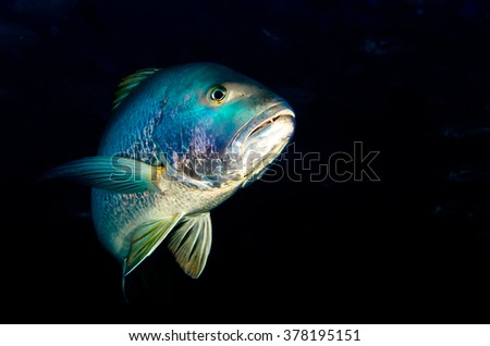 Big Dog Snapper (Lutjanus novemfasciatus), hunting trevally, reefs of Sea of Cortez, Pacific ocean. Cabo Pulmo National Park, Baja California Sur, Mexico. The world's aquarium. - stock photo