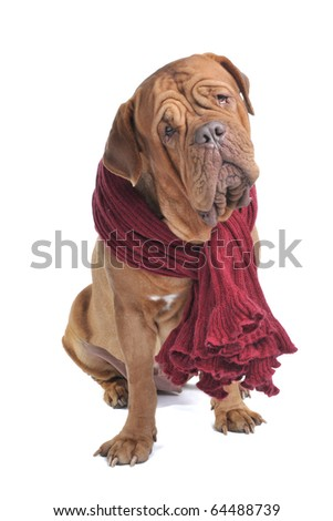 Big Dog with a Curious look wearing a warm scarf - stock photo