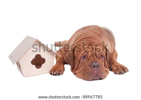 Big dog with small house isolated - stock photo
