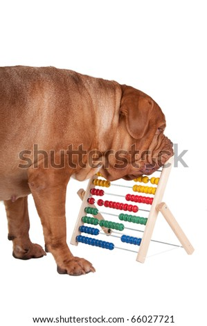 Big dogue de bordeaux calculating its finances with abacus - stock photo