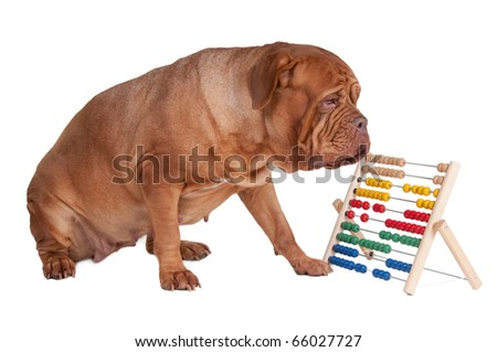 Big dogue de bordeaux counting with abacus - stock photo