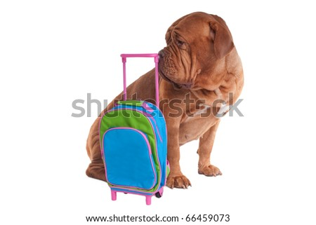 Big dogue de bordeaux is ready to go on a trip - stock photo