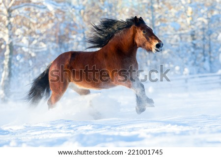 Big draft horse runs in winter - stock photo
