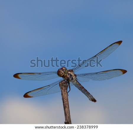 Big dragonfly on a stick that is watching for a meal - stock photo