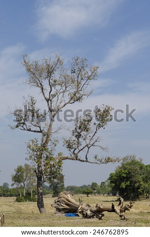 Big dry tree and dead tree in field