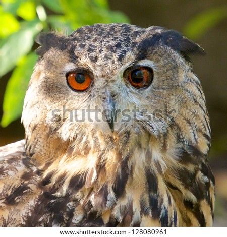 Big Eagle Owl looking into the camera - stock photo