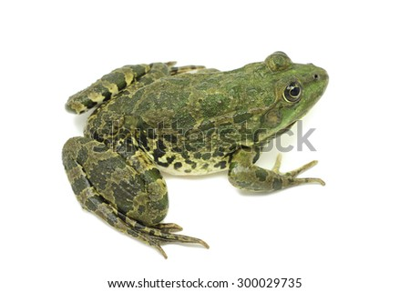 big -eared frog on a white background