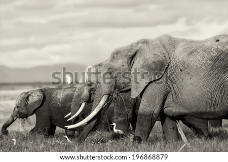 Big Elephant cow with daughter and baby in Amboseli National Park, Kenya - stock photo