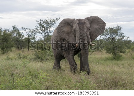 big elephant in national kruger wild park south africa near hoedspruit at te orphan gate - stock photo