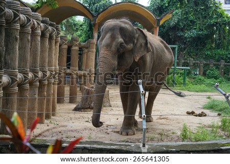 big elephant in the zoo
