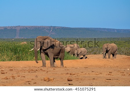 Big elephant male with tusk walking to the water hole  in Addo Elephant Park, South Africa - stock photo