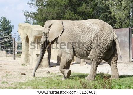 big elephant running at paddock - stock photo