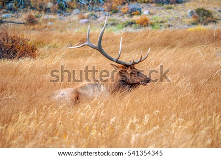 Big elk resting in the grass in autumn in rocky mountain national park, Colorado