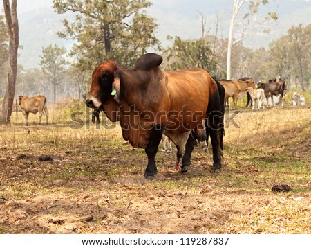 Big Entire Red Brown Brahman Bull Stock Photo Royalty Free