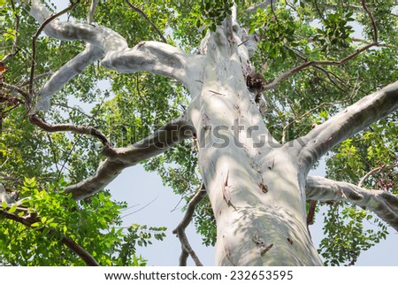 Big eucalyptus tree - stock photo