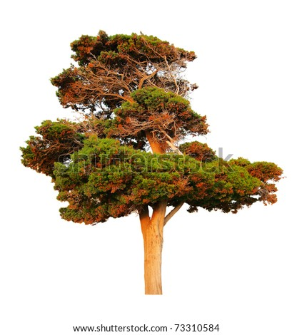Big evergreen pine tree isolated on white background - stock photo