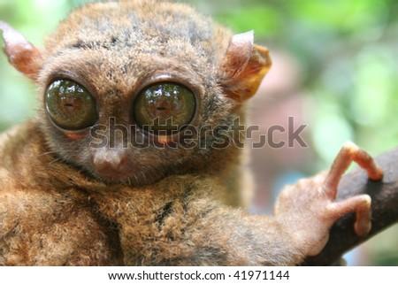 big eye tarsier - stock photo
