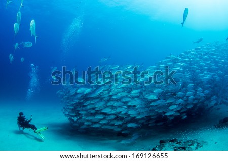 Big eye Trevally Jack, (Caranx sexfasciatus) Forming a school, bait ball or tornado with a diver. Cabo Pulmo National Park, Cousteau once named it The world's aquarium. Baja California Sur,Mexico.  - stock photo