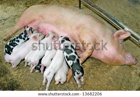 Big family of pigs - stock photo