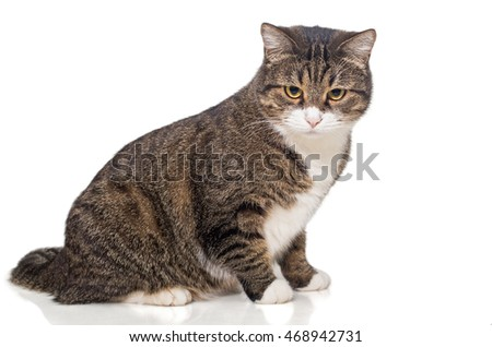 Big, fat grey cat, side view, isolated on white