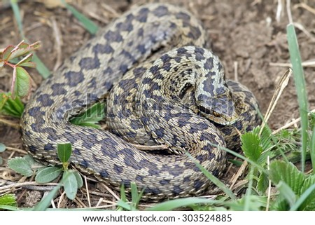 big female meadow viper ( Vipera ursinii rakosiensis ) - stock photo
