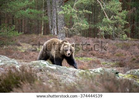 big female of brown bear (Ursus arctos) in winter forest, Europe, Czech republic - stock photo
