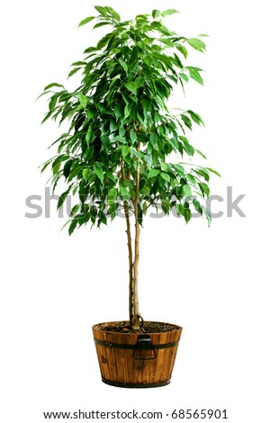 Big ficus tree in wood pot - stock photo