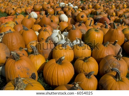 Big Field O Pumpkins