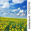 Big field of sunflowers. Composition of nature. - stock photo
