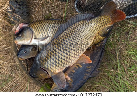 big fish carp in fish net background seafood Spring angling