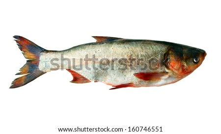 Big fish on white background is insulated - stock photo