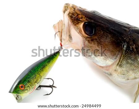 big fish Walleye ,pike perch,predator close-up - stock photo